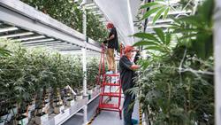 Fluence Bioengineering Illuminates MedMen Cannabis Vertical Farm