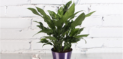 Costa farms, O2 For You, chinese evergreen