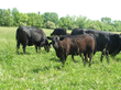 Joyce Farms Solves the Mystery of Raising Better Grass-Fed Beef