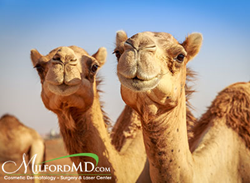 NPR reported that 12 camels competing in a beauty pageant in Saudi Arabia were banned because they had received Botox injections to enhance their looks. For Dr. Buckley, it comes as no surprise.