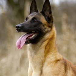Elite Protection Dogs - Excellent Guardians and Companions