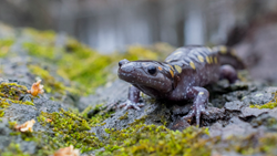 Spotted salamander on a moss-covered rock.