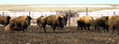 Bison on Blackfeet Nation Land