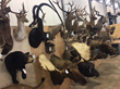 Exotic Taxidermy mounts at auction
