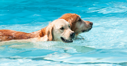 Dogs swimming on vacation at Canine Camp Getaway