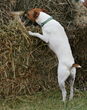Barn hunt at Canine Camp Getaway