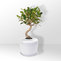 Bonsai Tree Urn