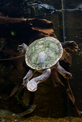 A Giant Snake-necked Turtle at the Tennessee Aquarium