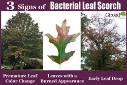 3 Signs of Bacterial Leaf Scorch seen on Oak Trees