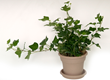 Easy-to-grow ivy adds a touch of greenery and tranquility to indoor spaces