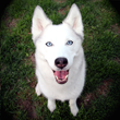 Embark Identifies Gene Mutation Responsible for Blue Eyes in Dogs