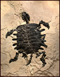 "Fossil Soft-Shell Turtle. ""Axestemys Byssinus.""Image courtesy of Wilensky Gallery and Green River Stone Company"