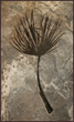 "Fossil Palm Frond. ""Sabalites Powelli."" Image courtesy of Wilensky Gallery and Green River Stone Company"