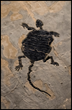 "Rare Historic Turtle Fossil. ""Baena Arenosa."" Image courtesy of Wilensky Gallery and Green River Stone Company"