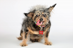 Scamp The Tramp is the 2019 World's Ugliest Dog® Contest Winner, courtesy of Will Bucquoy Photography and the Sonoma-Marin Fair.