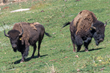 Male American Bison with Unique Genetics Join Oakland Zoo's Pablo Allard Herd