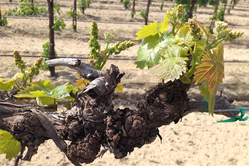 Muscat of Alexandria grape vine with crown gall tumors from the Southern San Joaquin Valley.