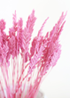 Pink Arrow Grass