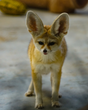 Fennec Fox Surrendered to Oakland Zoo by Exotic Pet Owner