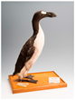 A mounted great auk skin, The Brussels Auk (RBINS 5355), from the collections at Royal Belgian Institute of Natural Sciences (Credit: Thierry Hubin (RBINS))