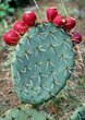 Tex-OE, Opuntia Mesocarp Extract® is the patented extract derived from Prickly Pear cactus fruit.