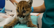 Last Surviving Mountain Lion Cub from Litter of Three Rehabilitating at Oakland Zoo's Veterinary Hospital