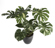 Costa Farms' Monstera deliciosa 'Thai Constellation' Chosen as Favorite New Foliage Plant at TPIE 2020