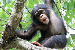 Chimpanzee West Africa Action for Chimpanzees