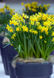 Still want to give flowers this Valentine's Day? Potted flower bulbs are the answer.
