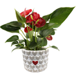 Appropriately named Allura, this hot anthurium bears Valentine's Day-shaped red flowers and leaves.