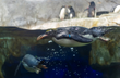 Playful penguins can be observed on the Tennessee Aquarium's live web cameras.
