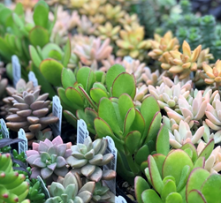 Succulent Plants for Online Ordering
