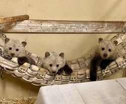 Bearizona to Rescue Three Orphaned Grizzly Bear Cubs in June
