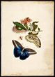 Merian, Maria Sibylla, 1705, Metamorphosis Insectorum Surinamensium, Plate LX. Courtesy of The Linda Hall Library of Science, Engineering & Technology
