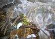 Juvenile Southern Appalachian Brook Trout acclimating to the water temperature at the release site